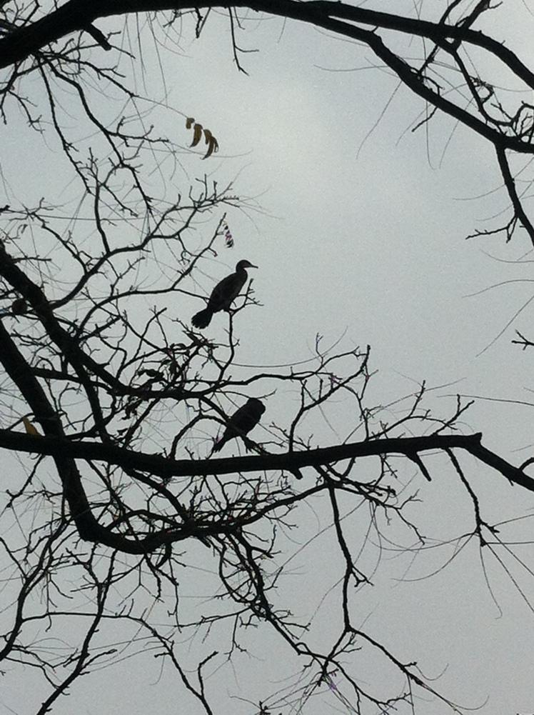 cormorans