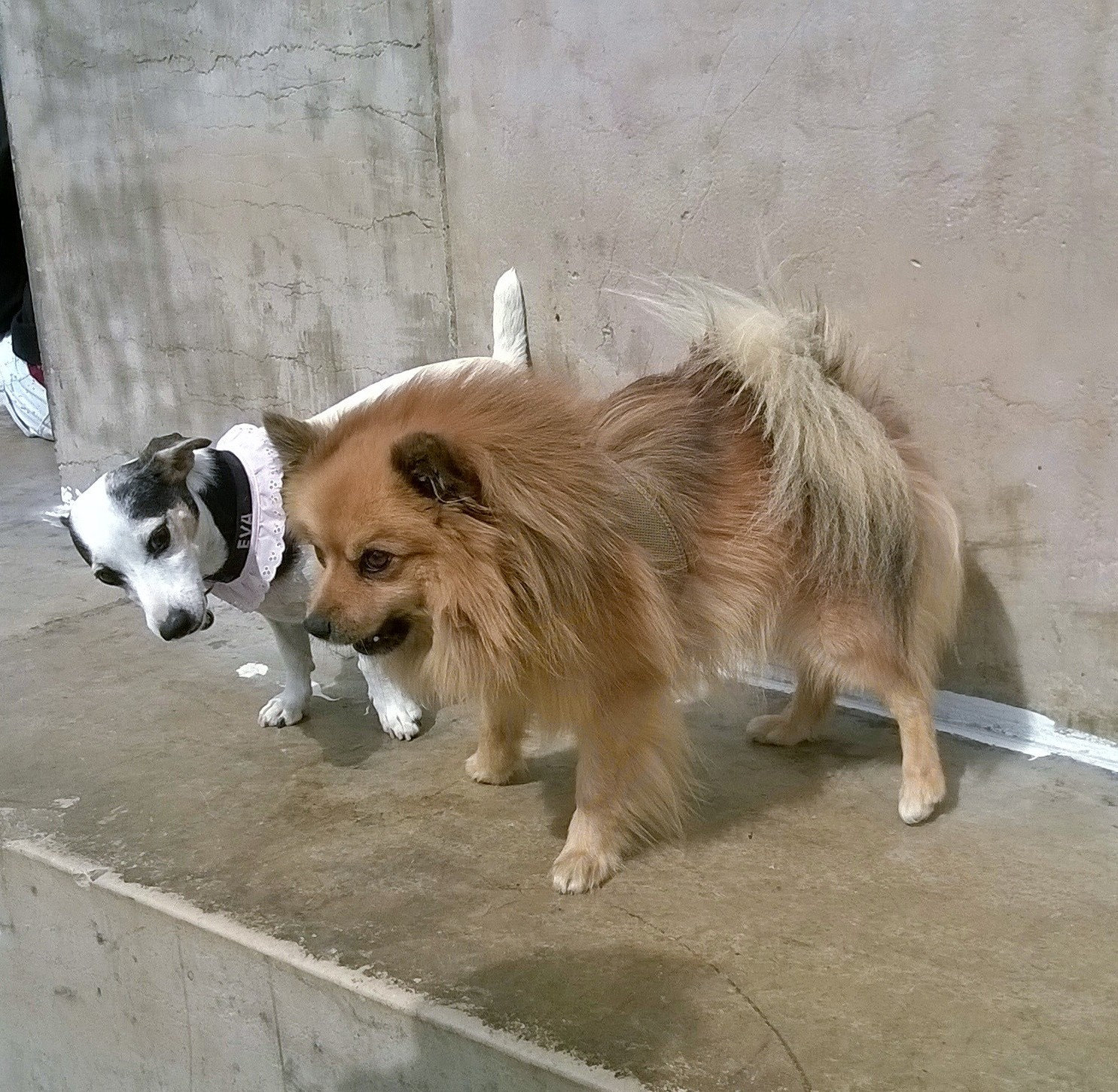 dogile-japy-eva