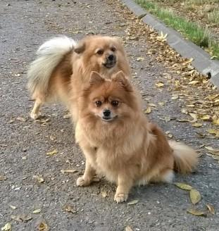 dogile-japy-stella