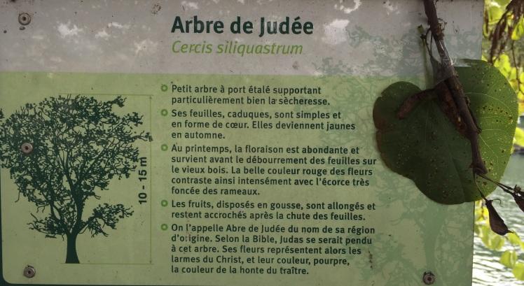 arbre-de-judee