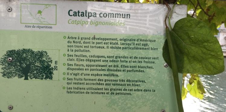 catalpa-commun